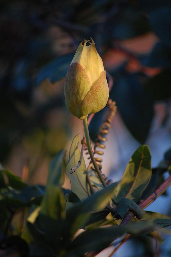 Pure Photograph - Passiflora Incarnata by Dickon Thompson