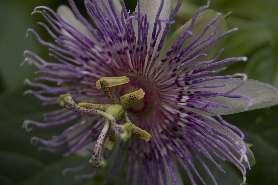 Passion Flower by Margaret Denny