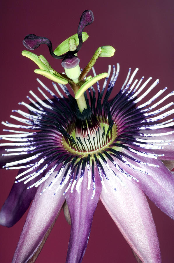 Passion Flower Photograph - Passion Flower (passiflora Amethystina) by Lawrence Lawry