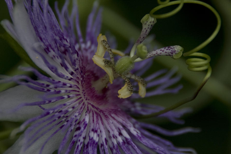 Passion Flower's Tendril by Margaret Denny