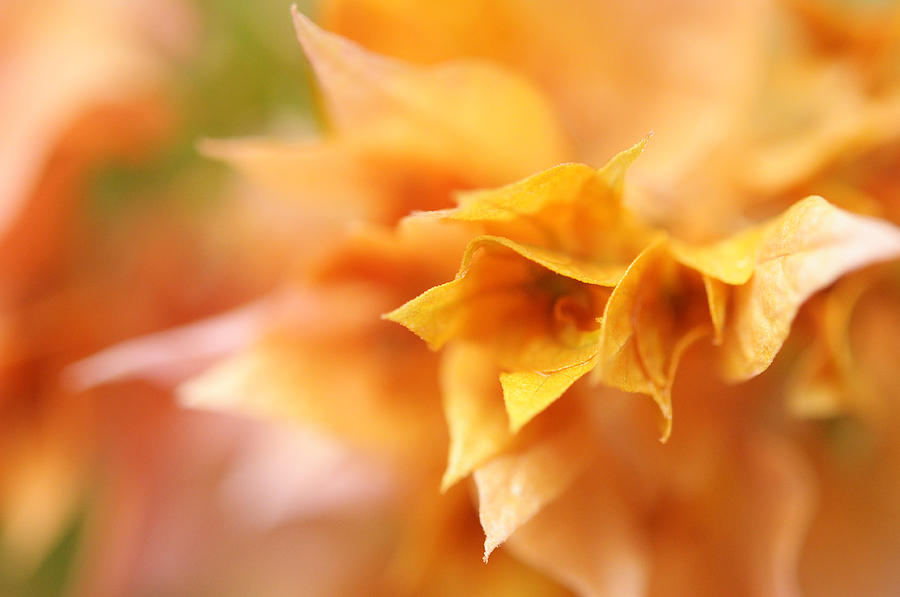 Bougainvillea Photograph - Passion For Flowers. Orange Delight by Jenny Rainbow
