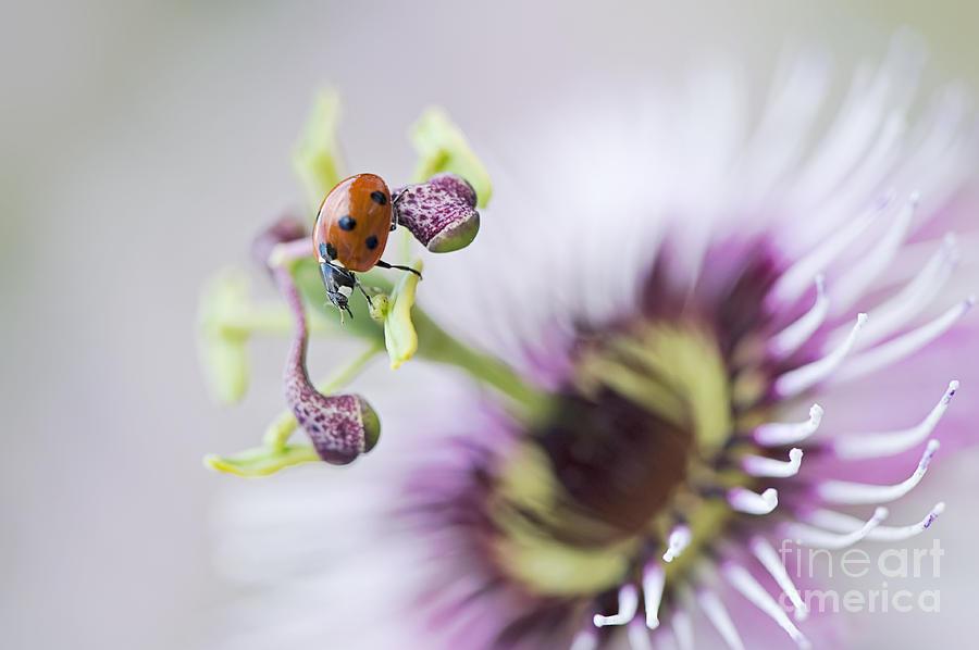 Coccinella Septempunctata Photograph - Passion Lady by Jacky Parker
