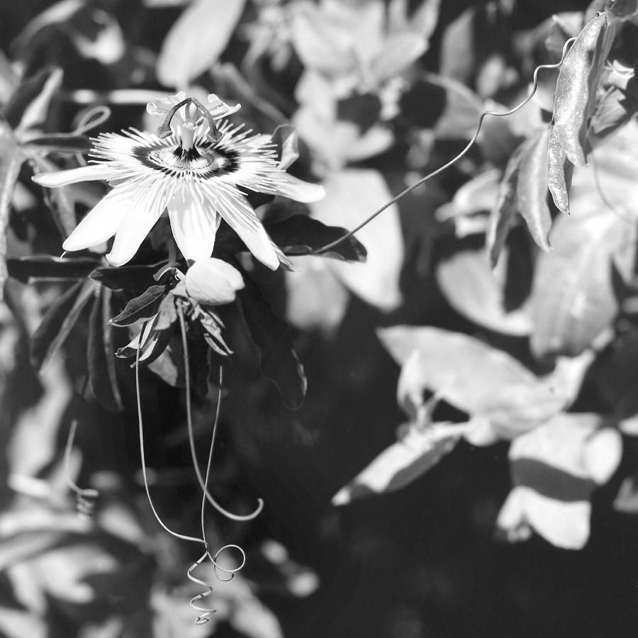 Passionflower Photograph - Passionflower And Tendrils by Paul Cowan