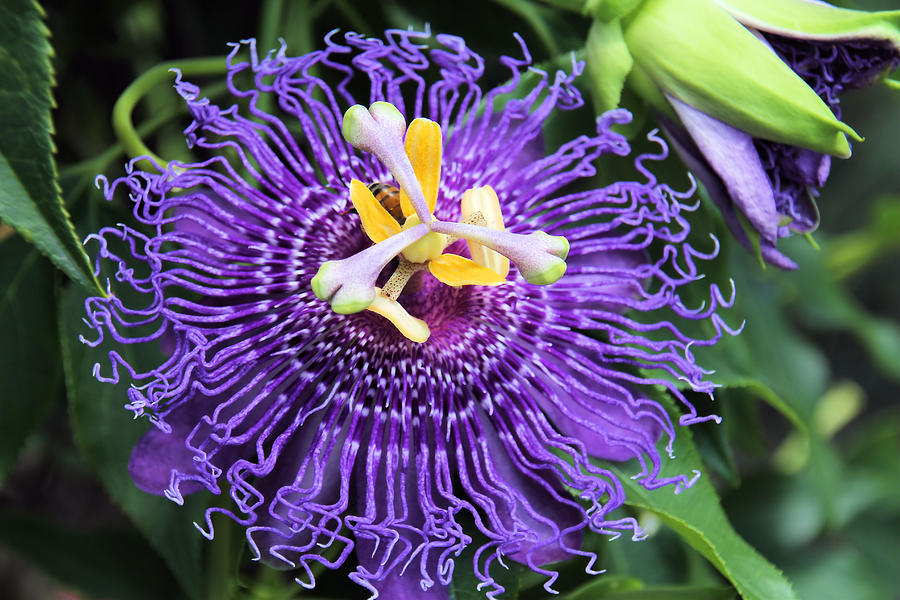 Passionflower Photograph - Passionflower Purple by Rosalie Scanlon