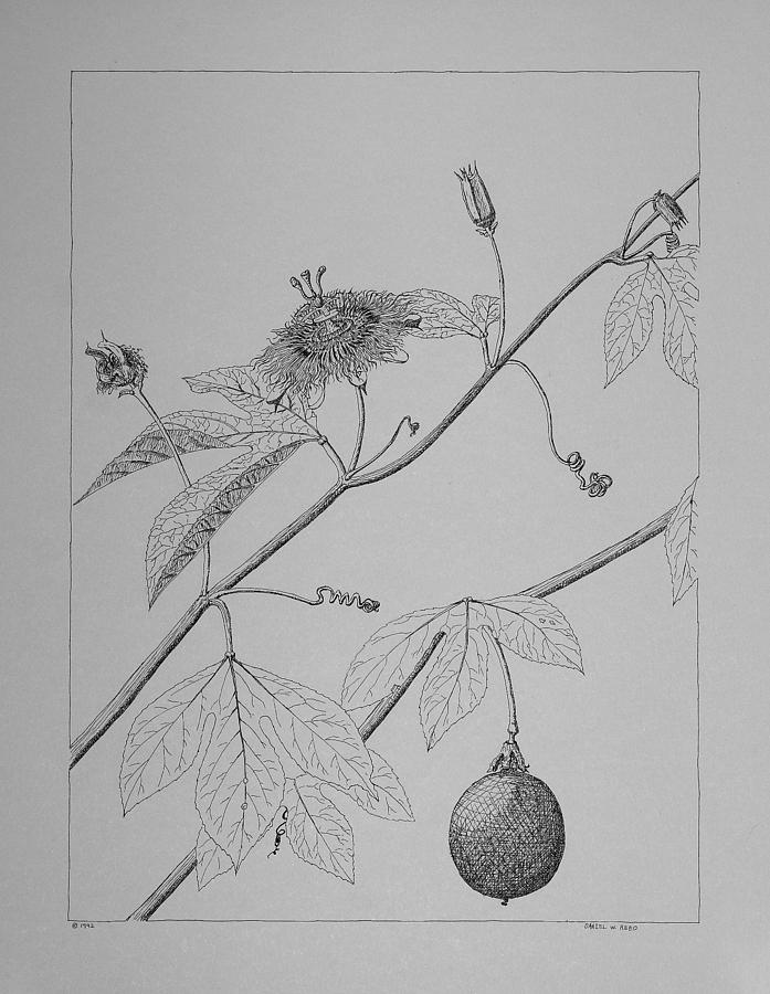 Passionflower Drawing - Passionflower Vine by Daniel Reed