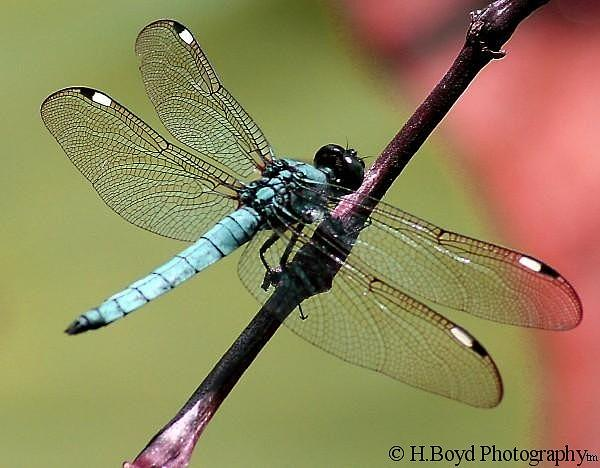 Dragonfly Photograph - Pastel Dragonfly by Heather  Boyd