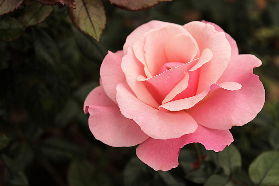 Pastel Pink Rose In Bloom Photograph By Sarah Broadmeadow
