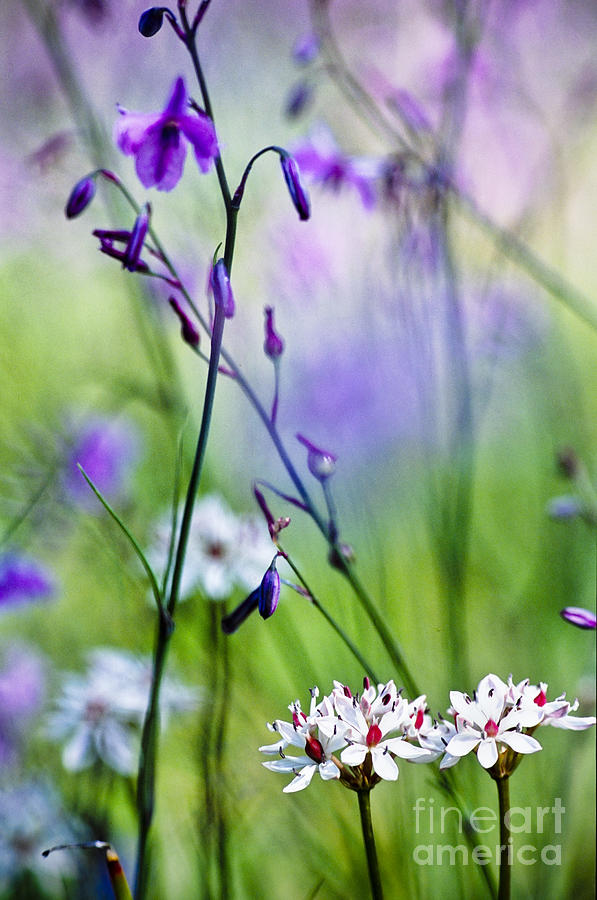 Australia Photograph - Pastel Wildflowers by David Lade