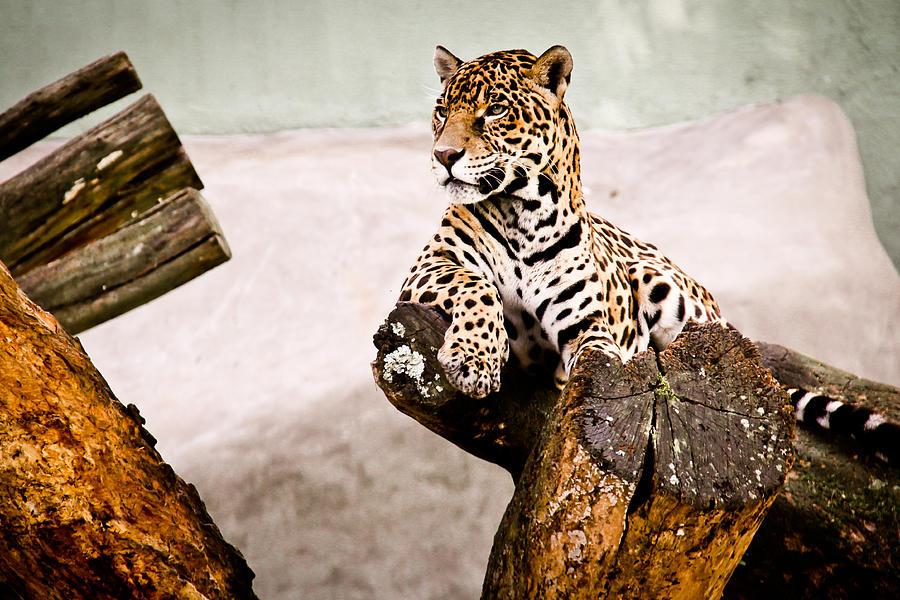 Jaguar Photograph - Patient Jaguar by Ezequiel Rodriguez Baudo
