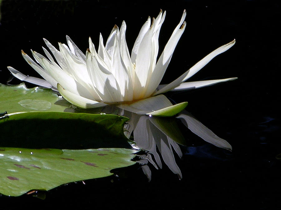 White Water Lily Photograph - Patterns of Beauty by John Lautermilch