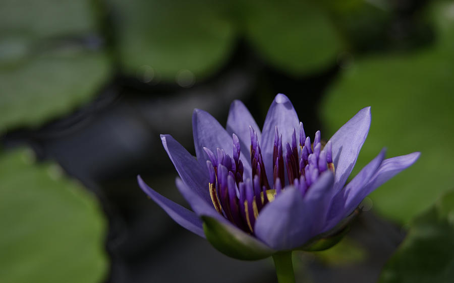 Purple Lotus Flower Photograph - Peace And Love by Jen Baptist