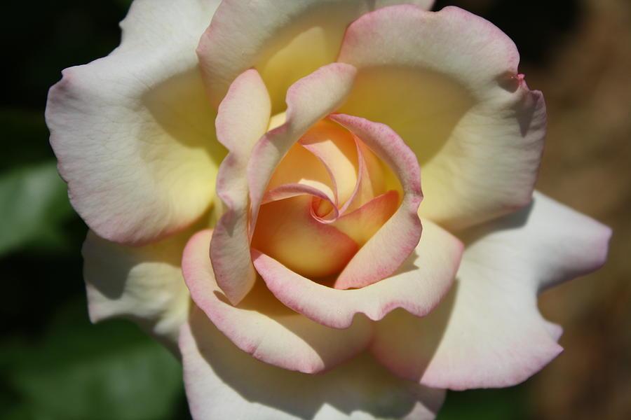 Peace Rose Photograph - Peace Rose by LC  Linda Scott