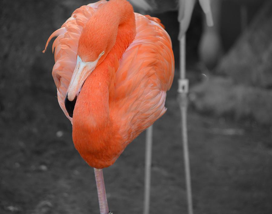 Flamingo Photograph - Peaceful Flamingo by Maggy Marsh