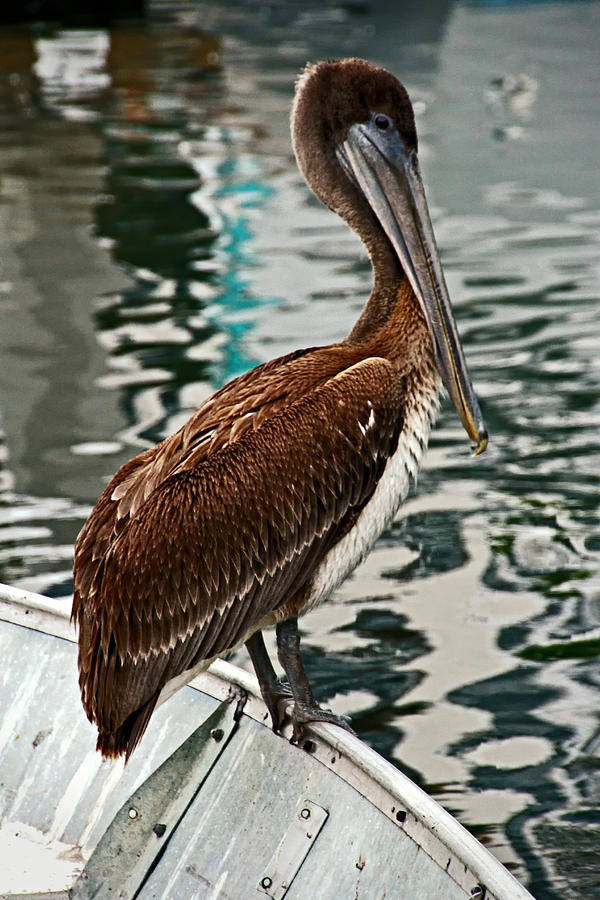 California Photograph - Peaceful Pelican Place by Donna Pagakis