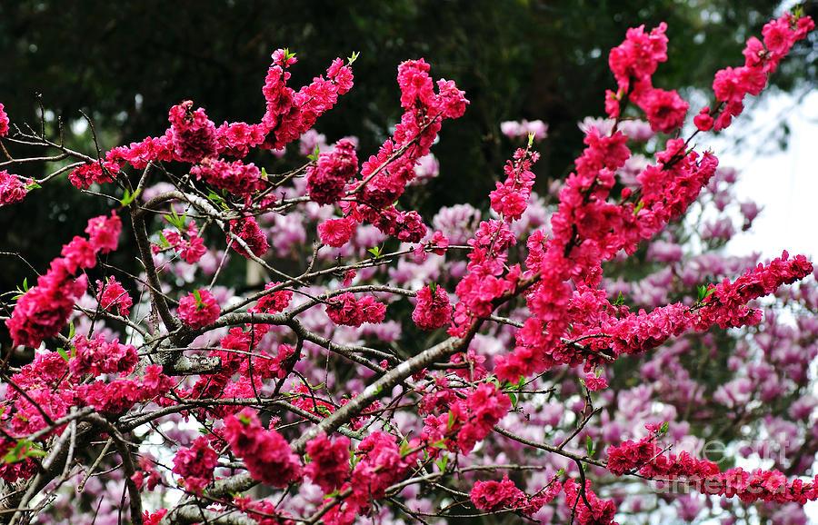 Peach Blossom Photograph - Peach Blossom by Kaye Menner