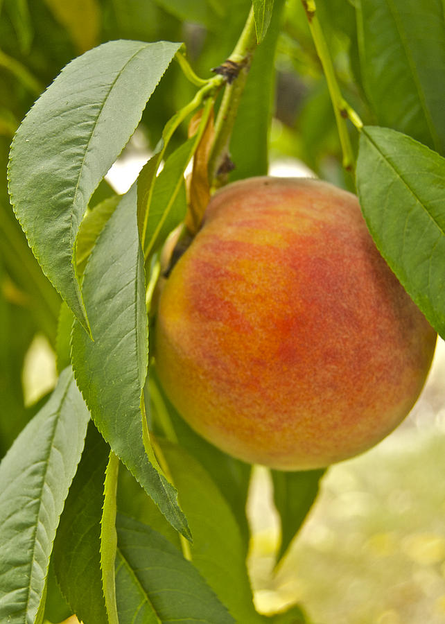 Fruit Photograph - Peachy 2903 by Michael Peychich