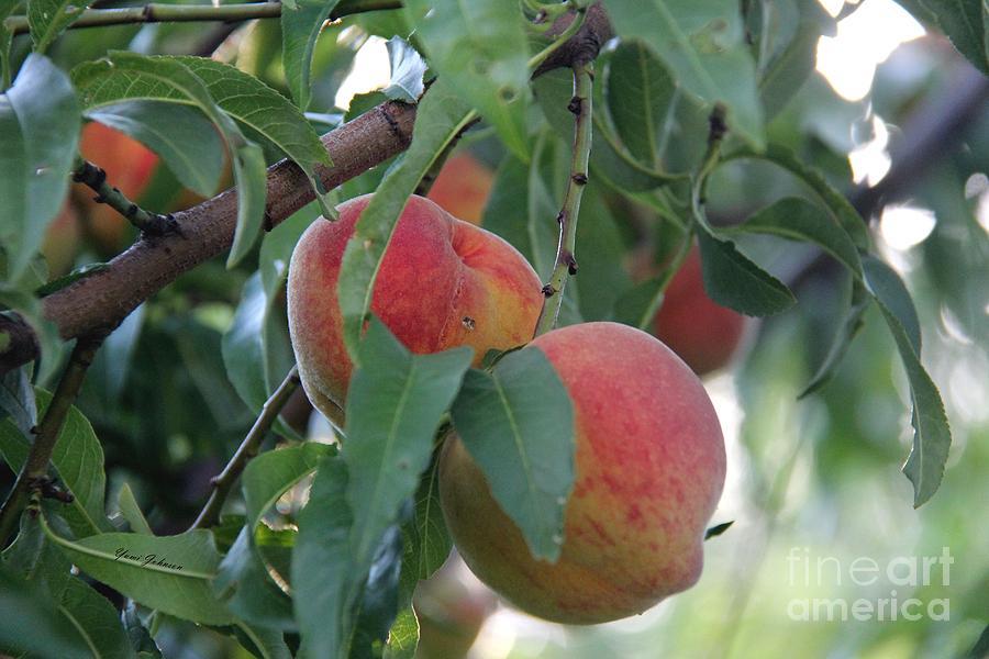 Peaches Photograph - Peachy Morning by Yumi Johnson