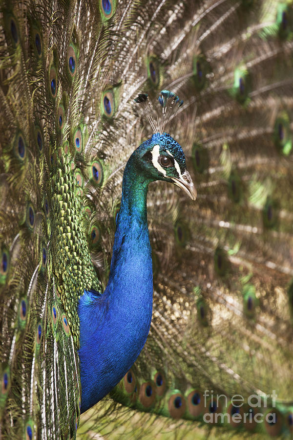 Male Photograph - Peacock Display by Richard Garvey-Williams