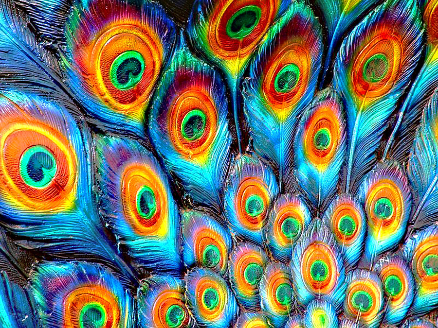 Beautiful Photograph - Peacock Feathers by Helen Stapleton