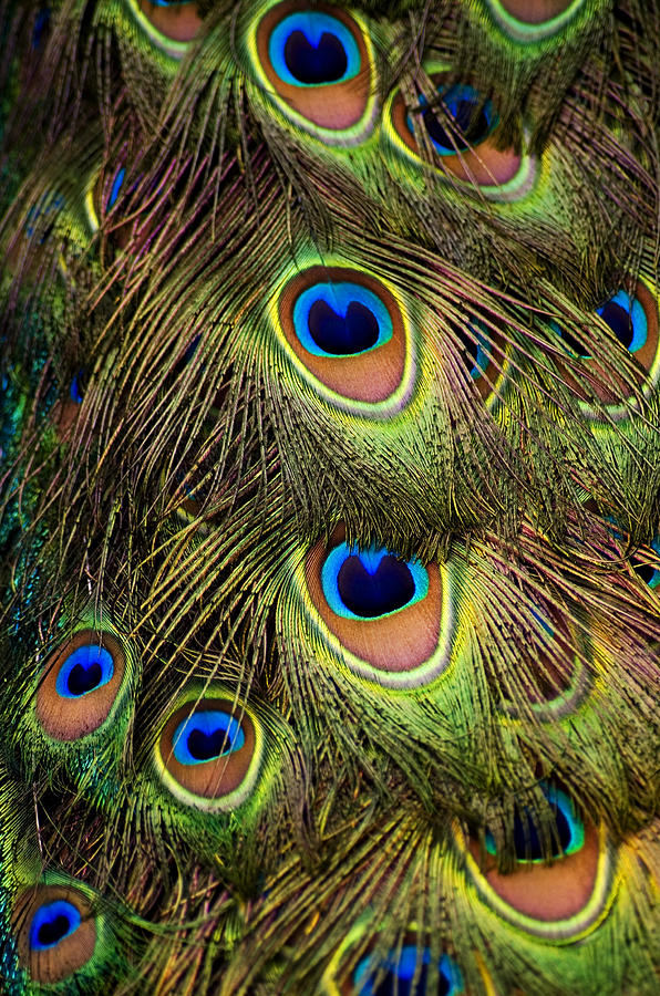 Vertical Photograph - Peacock Feathers by Navid Baraty / Getty Images