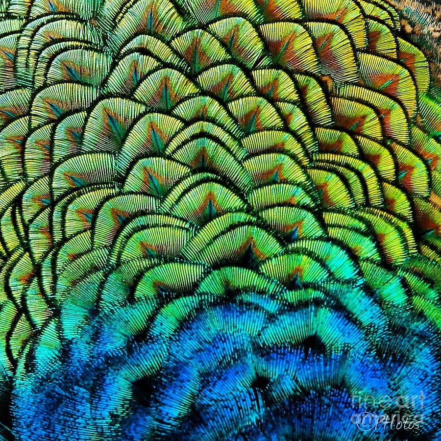 Peacock Feathers Photograph by Phil Huettner