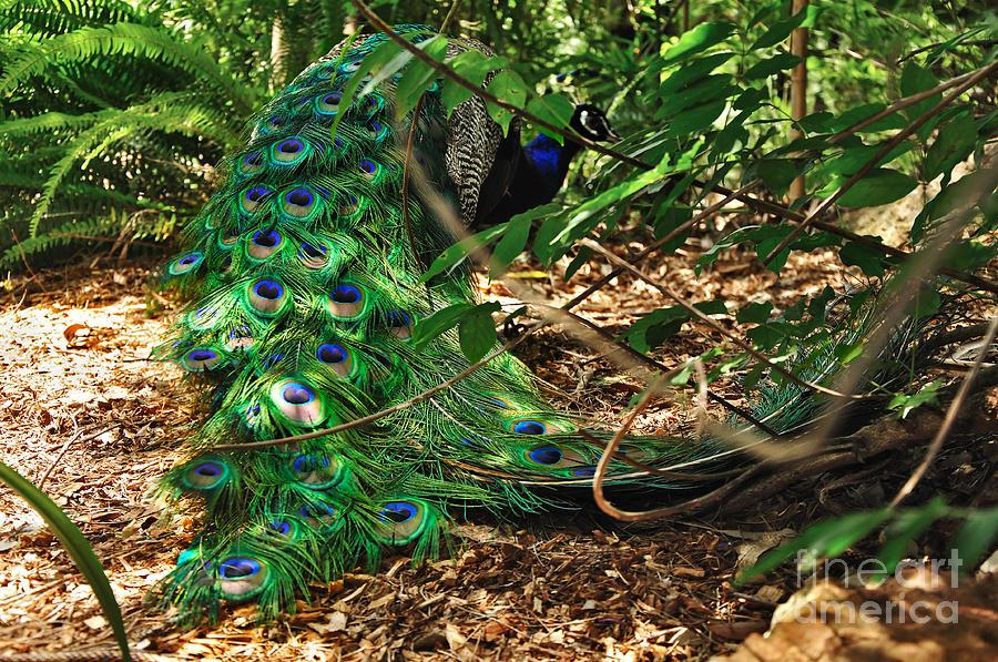 Peacock Photograph - Peacock Hiding by Kaye Menner