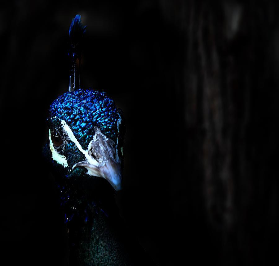 Peacock Photograph - Peacock In The Dark by Radoslav Nedelchev