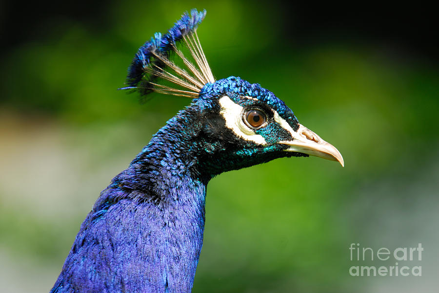 Peacock Photograph - Peacock Portrait by John Kelly