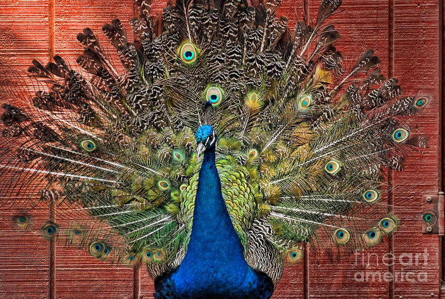 Peacock Photograph - Peacock Tails by Paul Ward