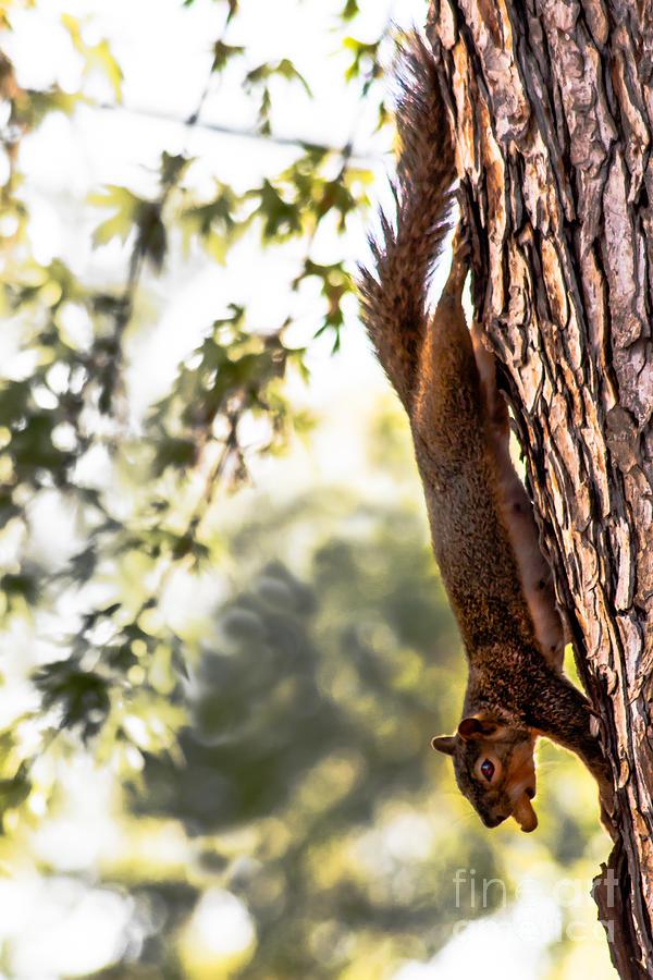 Squirrel Photograph - Peanut Run by Robert Bales