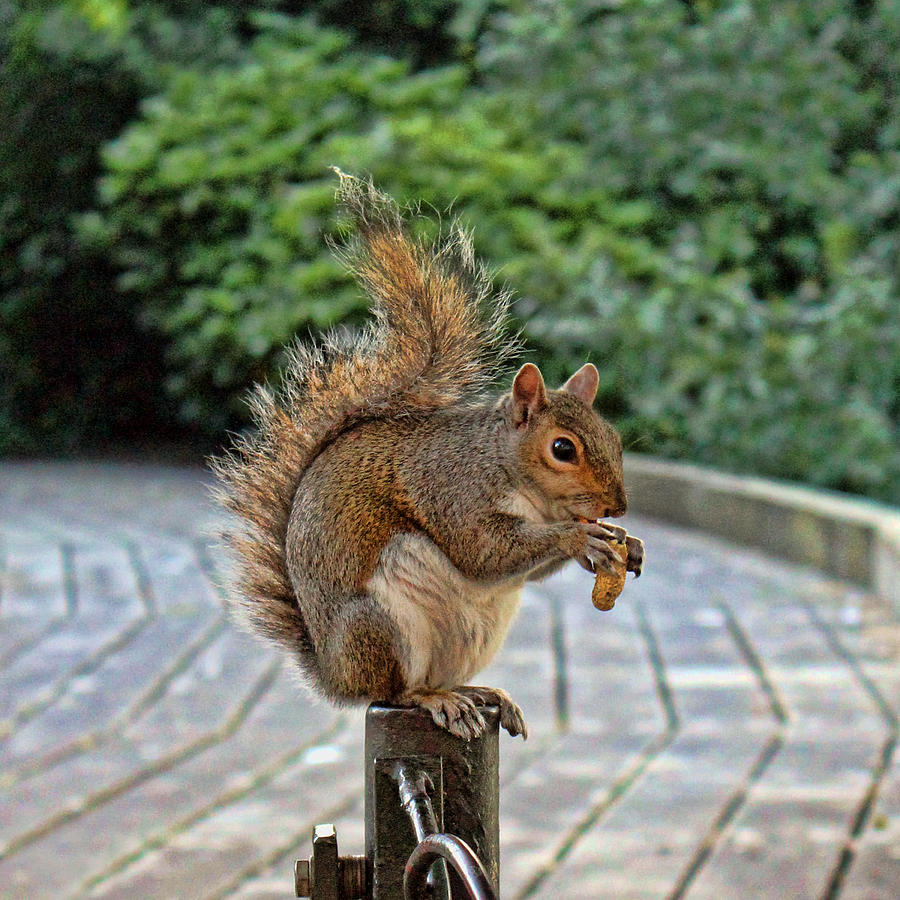 Squirrel Photograph - Peanuts For Lunch by Jasna Buncic