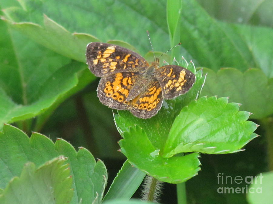 Butterfly Photograph - Pearl Crescent Butterfly by Randi Shenkman