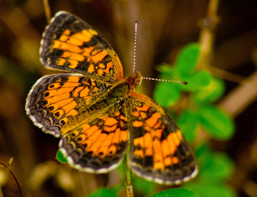 Butterfly Photograph - Pearl Cresent Butterfly 2 by Barry Jones