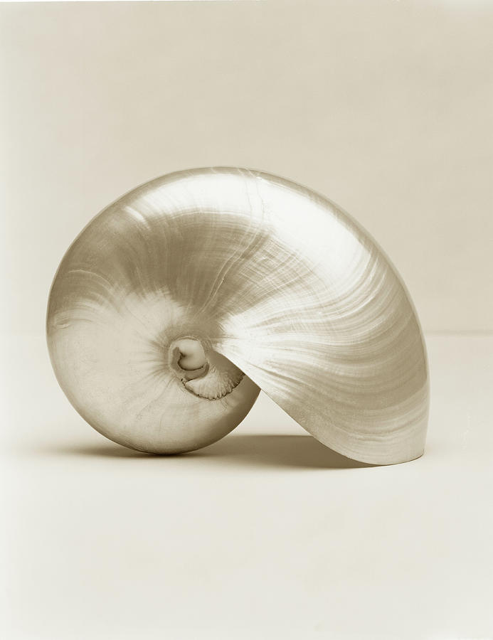 Vertical Photograph - Pearlised Nautilus Sea Shell, Close-up by Finn Fox