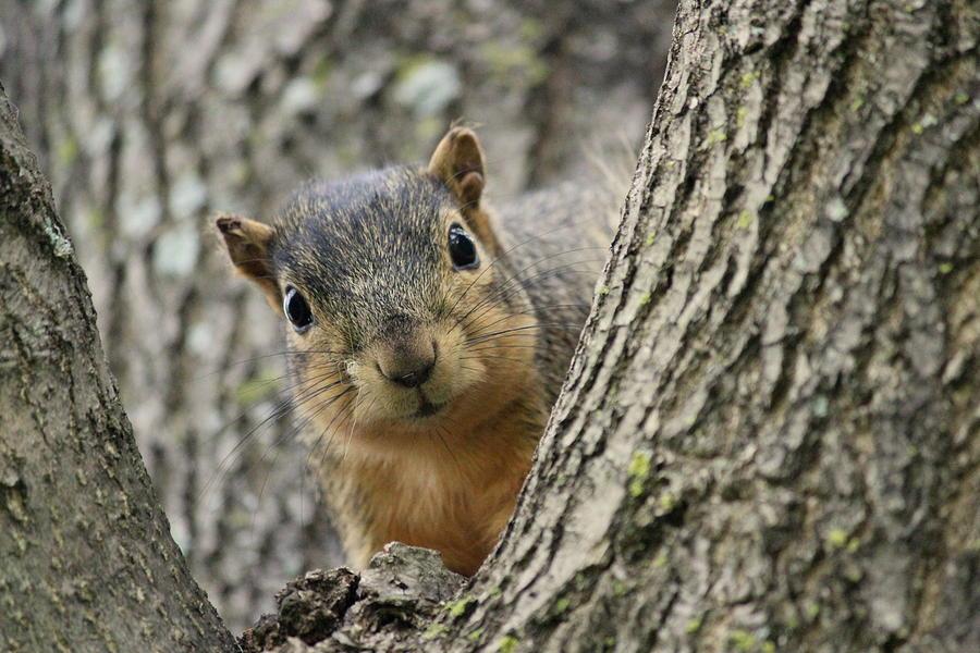 Squirrel Photograph - Peek A Boo Squirrel by Rosanne Jordan