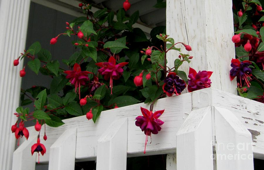 Fuschia Photograph - Peeking Around The Corner by Sandra Maddox
