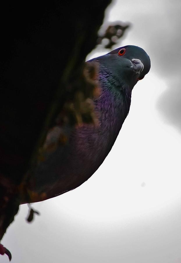 Pigeon Photograph - Peeking Pigeon by DigiArt Diaries by Vicky B Fuller