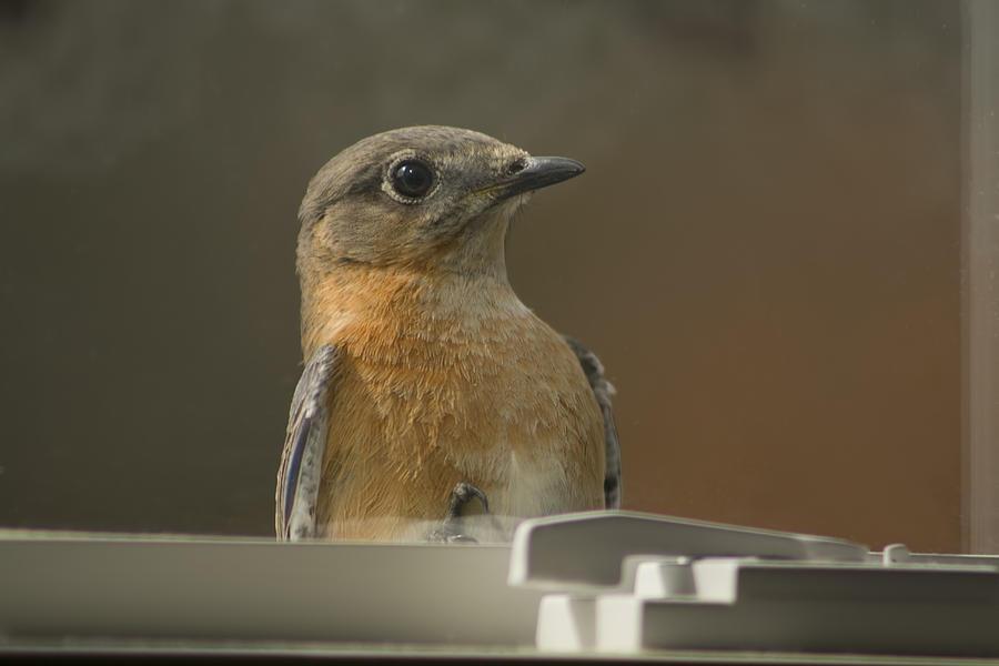 Sialia Sialis Photograph - Peeping Bluebird by Kathy Clark