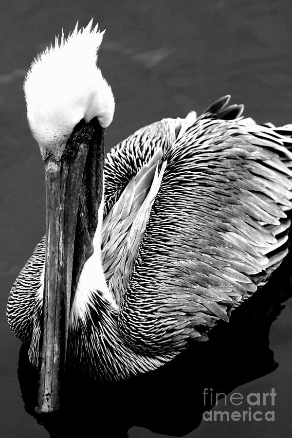 Black And White Photograph - Pelican . 7d8287 by Wingsdomain Art and Photography