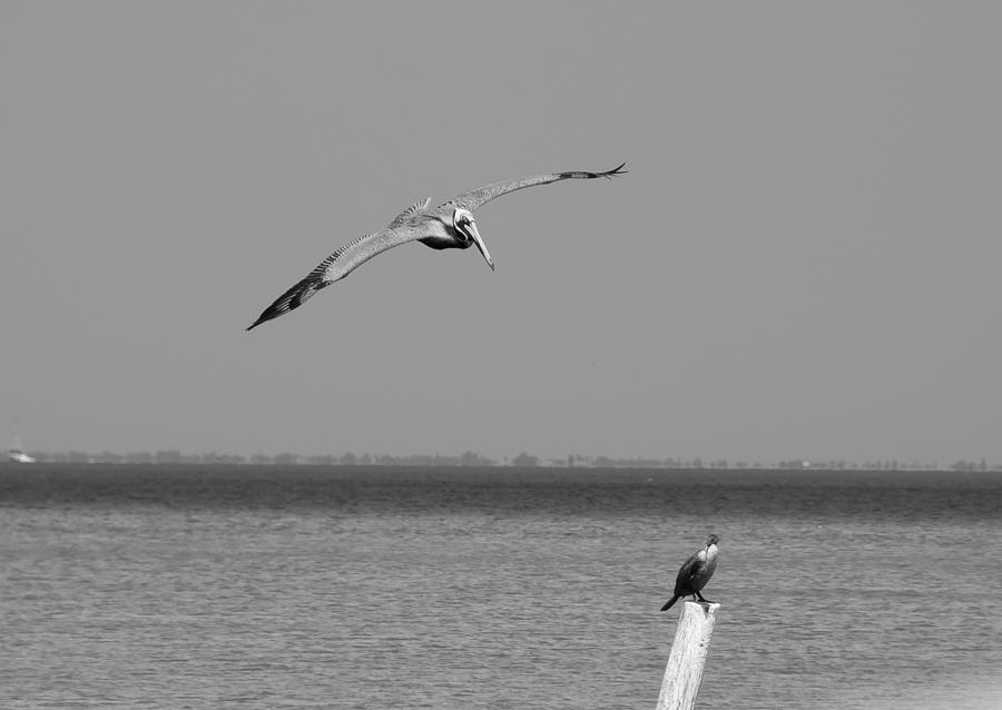 Pelican Photograph - Pelican Attack by Herman Boodoo