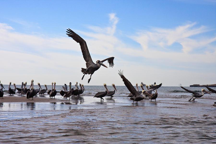 Beach Photograph - Pelican convention by Dina Calvarese