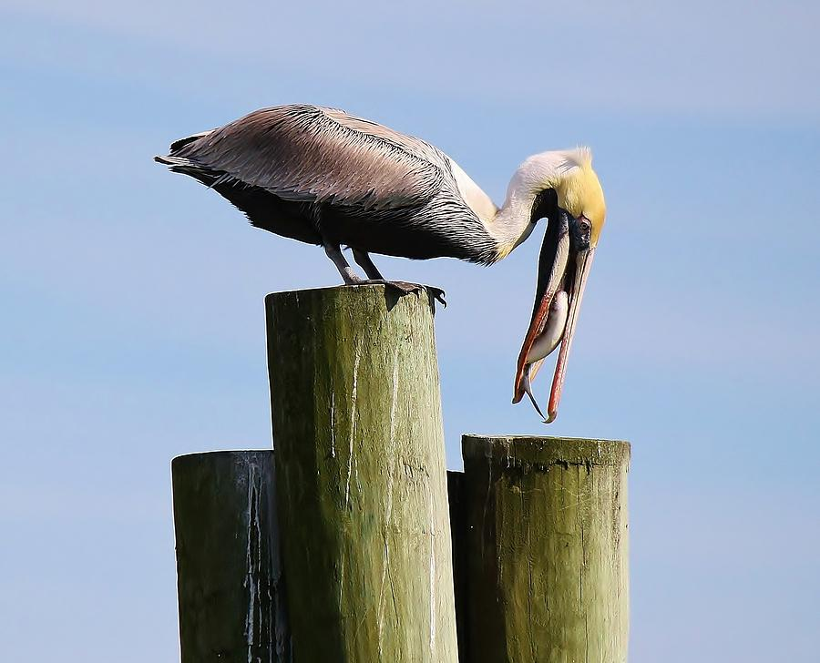 Pelican Photograph - Pelican Fishing by Paulette Thomas