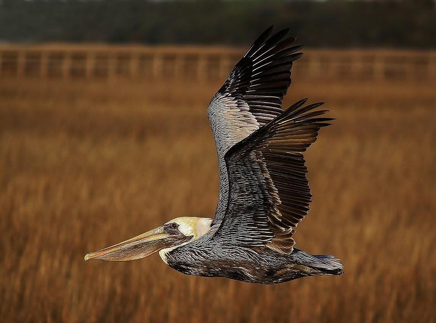 Pelican Photograph - Pelican Flying Through The Marsh by Paulette Thomas