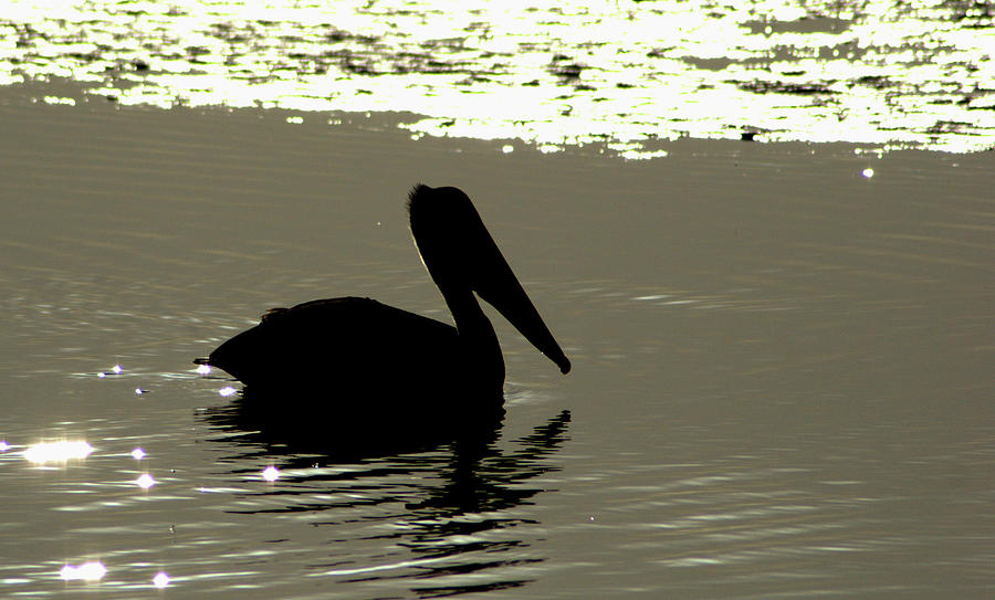 Brown Photograph - Pelican In Silioutte by John Wright