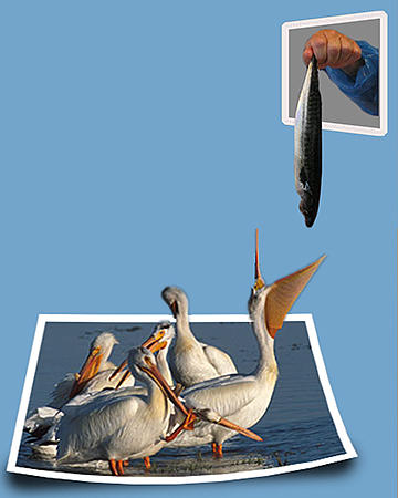 Bounds Digital Art - Pelican Lunchtime by Anthony Caruso
