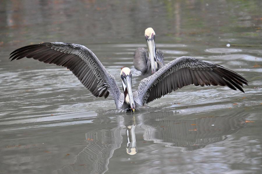 Blanton Photograph - Pelican Span by Teresa Blanton
