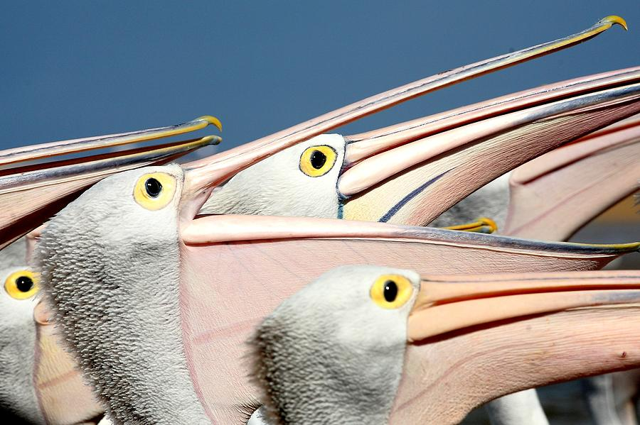 Horizontal Photograph - Pelicans (eyes Have It) by An Gobán Saor