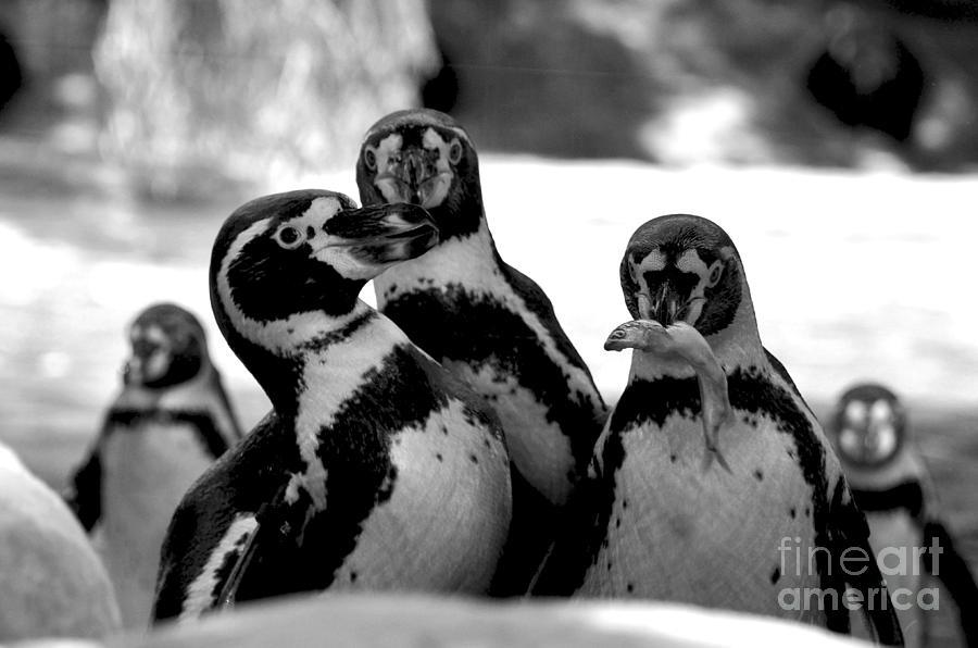 Birds Digital Art - Penguins by Pravine Chester