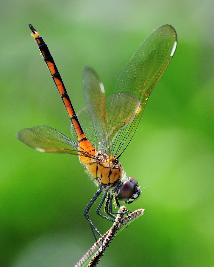Pennant Photograph - Pennant Dragonfly Obilisking by Bill Dodsworth