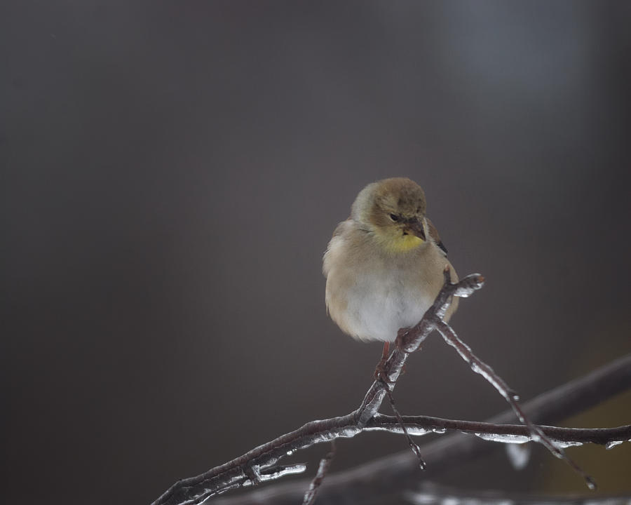 Goldfinch Photograph - Pensive by Susan Capuano
